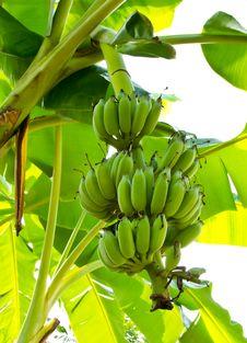 Green Banana Unripe On Tree Royalty Free Stock Photos