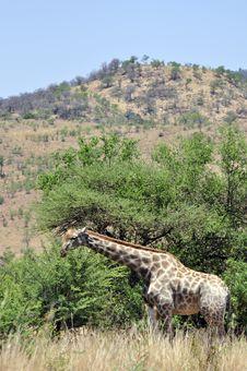 Free Giraffe Royalty Free Stock Image - 16741806