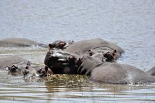 Free Hippos Royalty Free Stock Image - 16741916
