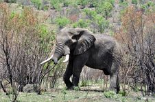 African Elephant. Royalty Free Stock Images