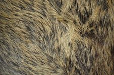 Free Wild Boar Texture Stock Image - 16743321