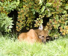 Resting Fox Royalty Free Stock Image