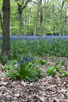 Free Bluebell Woods Royalty Free Stock Photo - 16744625