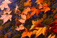 Free Maple Leaf Stock Photo - 16745130
