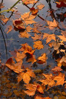 Free Maple Leaf Royalty Free Stock Photos - 16745178