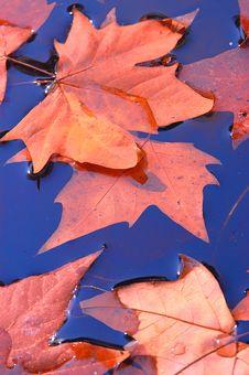 Free Maple Leaf Royalty Free Stock Photo - 16745295