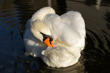 Free Mute Swan Stock Photography - 16745652