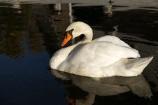 Free Mute Swan Royalty Free Stock Photo - 16745665