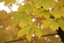 Free Autumn Leaves Royalty Free Stock Images - 16747079