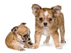 Free Two Puppies Of The Chihuahua Stock Images - 16747394