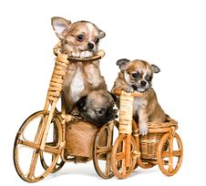 Puppies Chihuahua On A Bicycle Royalty Free Stock Photo