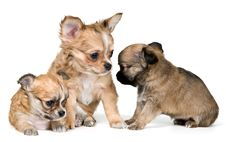 Free Three Puppies Of The Chihuahua Stock Image - 16747441
