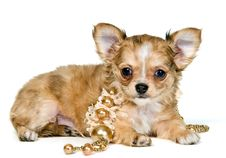 Puppy Of The Chihuahua With A Necklace Stock Photos