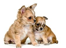 Free Two Puppies Of The Chihuahua Royalty Free Stock Photos - 16747448