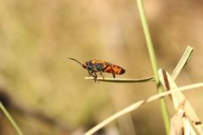 Free Milkweed Bug (Oncopeltus Fasciatus) Stock Photo - 16748060
