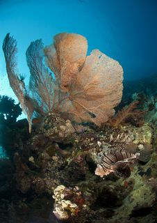 Giant Sea Fan With Tropical Common Lionfish. Royalty Free Stock Photography