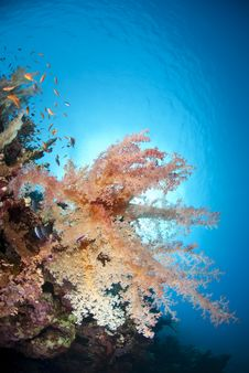 Colourful Tropical Soft Coral Reef Scene. Royalty Free Stock Photos