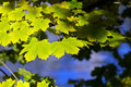Free Yellow And Green Maple Leafs Stock Photos - 16750723
