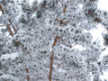 Free Twig Covered With Snow Stock Photos - 16759493