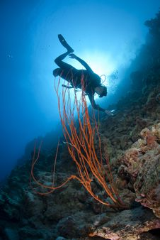 Adult Male Scuba Diver Photograhing A Coral Reef.