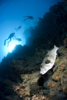 Free Whitespotted Pufferfish And Scuba Divers. Royalty Free Stock Photos - 16750138