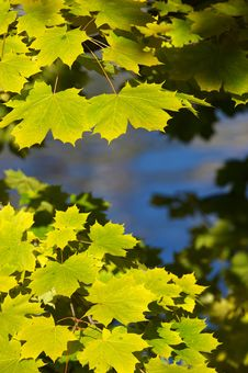 Yellow And Green Maple Leafs Stock Images