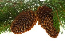 Free Fir Tree With Cones Royalty Free Stock Photo - 16750785