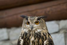 Free Eagle Owl ( Bubo Bubo ) Royalty Free Stock Photo - 16750925