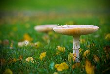 Free Mushroom Growing On A Lawn Royalty Free Stock Image - 16751026