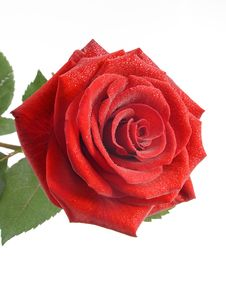 Red Rose With Drops Of Water Stock Image