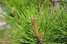 Free Pine Branch Royalty Free Stock Photo - 16751835