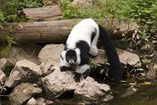 Free Lemur Stock Photography - 16752262