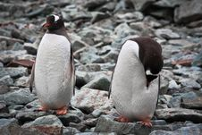 Two Identical Penguins Royalty Free Stock Image