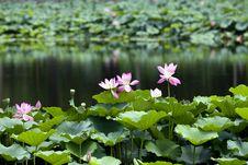 Free Lotus Pool Royalty Free Stock Photo - 16753275