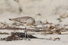 Marbled Godwit And Snack Stock Photos