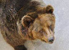 Free A Brown Bear Stock Photo - 16754170