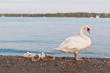 Mute Swan With Cygnets On A Beach Stock Photography