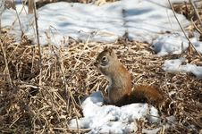 Free Red Squirrel Feeding In Winter Royalty Free Stock Photo - 16755345