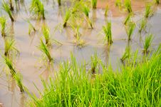 Free Rice Field Stock Images - 16755834