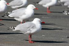 Free Seagull Standing On The Concrete Royalty Free Stock Photo - 16756645