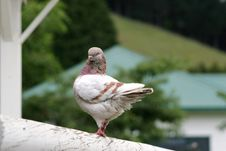 Free Modena Pigeon Stock Images - 16757614