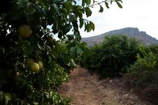 Free Galilee Orange Groves Stock Photo - 16757940