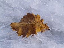 Free The Dried Up Oak Sheet On Ice Stock Images - 16758464
