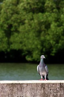 Free Pigeon Stock Photo - 16758730