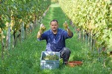 Free Vintner In The Vineyard Stock Photo - 16759650