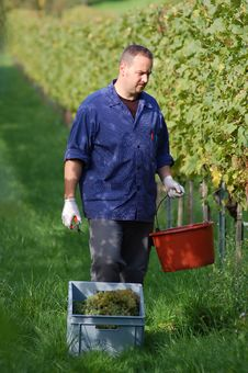 Free Vintner In The Vineyard Stock Photography - 16759732