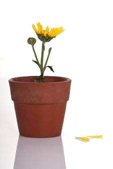Free Yellow Flower In A Small Flowerpot Stock Photography - 16759952