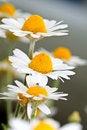 Free White Garden Chamomiles Stock Images - 16763234