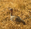 Free The Buff-crested Bustard Royalty Free Stock Photo - 16765855