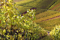 Free Vineyard - The Autumn Season Royalty Free Stock Image - 16766226